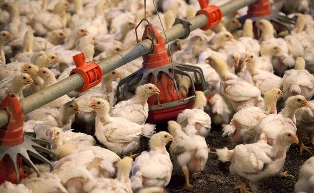فراوری سالانه 31 هزار تن گوشت مرغ در سیستان وبلوچستان