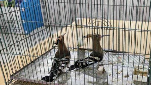 کشف دو قطعه هدهد از متخلف خرید و فروش غیرمجاز پرندگان وحشی در برخوار
